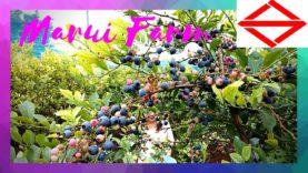 Blueberry Hunting | Marui Farm, YokohamaTravelVlog in Japan 2020 🇯🇵
